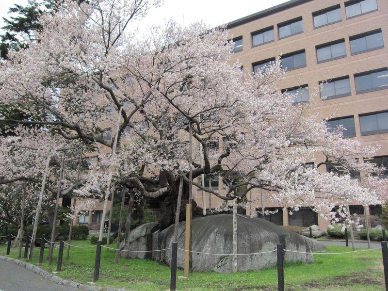 石割桜23年春4月26日 001