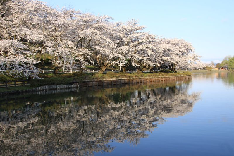 平成23年5月5日高松の池桜朝 010
